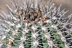 Позвоночники крупного плана кактуса Стоковая Фотография