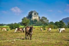 Позвольте корове пасти естественно на ферме стоковая фотография