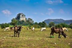 Позвольте корове пасти естественно на ферме стоковые изображения rf