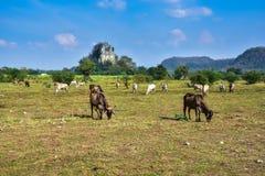 Позвольте корове пасти естественно на ферме стоковые фотографии rf