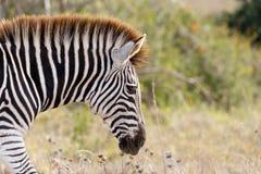 Позволяет для того чтобы вызвать его ZEB - зеброй Burchell Стоковые Изображения