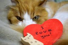 Поздравительная открытка дня Валентайн в форме красного сердца на предпосылке красного лица и белого кота стоковая фотография rf