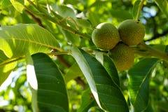 позеленейте грецкие орехи Стоковое Фото