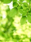 позеленейте листья Стоковая Фотография