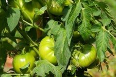 позеленейте лозу томатов Стоковое Фото