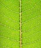 позеленейте макрос листьев Стоковое Фото
