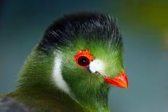 Позеленейте покрашенную голову бело--cheeked turaco с клювом и кольцом коуша покрашенными апельсином Стоковое Изображение RF