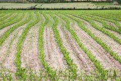 Позеленейте поле фермы Стоковое Фото