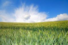 позеленейте пшеницу стоковые изображения