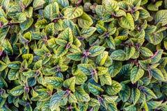 позеленейте текстуру листьев Предпосылка текстуры лист Стоковые Фотографии RF