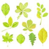 позеленейте установленные листья Стоковая Фотография RF