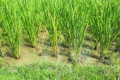 позеленейте ricefield Стоковые Изображения RF