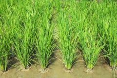 позеленейте ricefield Стоковая Фотография