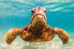позеленейте гаваискую черепаху моря Стоковые Изображения