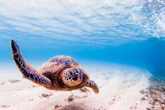 позеленейте гаваискую черепаху моря Стоковые Фотографии RF