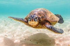 позеленейте гаваискую черепаху моря Стоковые Изображения RF
