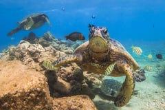 позеленейте гаваискую черепаху моря Стоковое Изображение RF