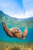 позеленейте гаваискую черепаху моря Стоковая Фотография