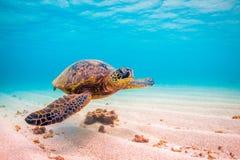 позеленейте гаваискую черепаху моря Стоковое Изображение