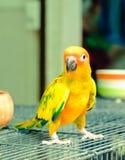 позеленейте желтый цвет попыгая Стоковые Фото