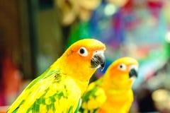 позеленейте желтый цвет попыгая Стоковое Изображение RF
