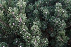 позеленейте иглы Стоковое Фото