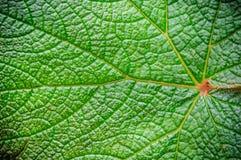 позеленейте текстуру листьев Стоковое Изображение