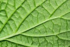 позеленейте текстуру листьев Стоковые Изображения RF