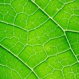 позеленейте текстуру листьев Стоковое Фото