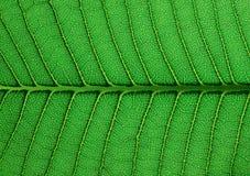 позеленейте текстуру листьев Стоковая Фотография RF
