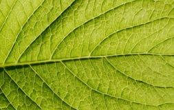 позеленейте текстуру листьев Стоковые Изображения