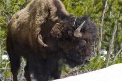 Позиция буйвола Стоковое Изображение RF