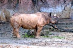 Позиция носорога стоковые изображения rf