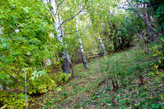 Поздно осенью роща зеленого цвета листва березы может Стоковые Изображения RF