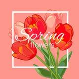 Поздравительная открытка с зацветая цветками тюльпана также вектор иллюстрации притяжки corel Стоковое Фото