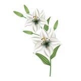 Поздравительная открытка с лилией цветков День матери карточки, день валентинки Стоковое Фото