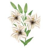 Поздравительная открытка с лилией цветков День матери карточки, день валентинки Стоковая Фотография RF