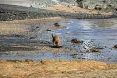 Поиски бездомной собаки для еды на пляже Стоковое Изображение RF
