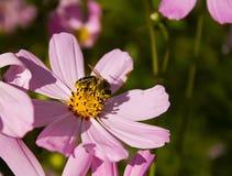 поиски нектара цветка пчелы Стоковое Фото