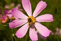 поиски нектара цветка пчелы Стоковое Изображение