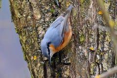 Поиски поползневого красивой маленькой птицы евроазиатские для еды на сильном стволе дерева стоковые фото