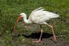 Поиски Ibis для еды Стоковые Фото