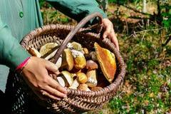 Поиск для грибов в древесинах Подборщик гриба Белый гриб в корзине Стоковые Фото