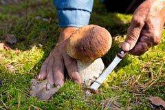 Поиск для грибов в древесинах Подборщик гриба, величая Пожилой человек режет белый гриб с ножом Руки людей Стоковое Фото