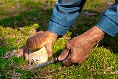 Поиск для грибов в древесинах Подборщик гриба, величая Пожилой человек режет белый гриб с ножом Руки людей Стоковое фото RF