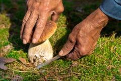 Поиск для грибов в древесинах Подборщик гриба, величая Пожилой человек режет белый гриб с ножом Руки людей Стоковые Фотографии RF