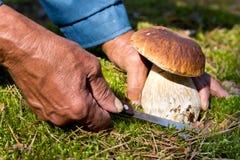 Поиск для грибов в древесинах Подборщик гриба, величая Пожилой человек режет белый гриб с ножом Руки людей Стоковое Изображение