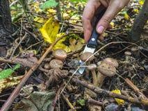 Поиск для грибов в древесинах Подборщик гриба Женщина режет гриб с ножом Руки женщины, a Стоковые Изображения RF