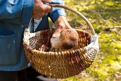 Поиск для грибов в древесинах Подборщик гриба Пожилой человек кладет белый гриб в корзину Стоковые Изображения