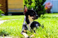 Поистине красивый маленький щенок чихуахуа стоковое изображение rf